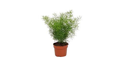 Zimmerpflanze Asparagus Sprengeri - Zierspargel - ± 25 cm hoch - 12 cm Durchmesser