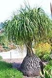 Beaucarnea Recurvata, Rare pata de elefante Cola de caballo de Palm Caudex Bonsai 100 semillas