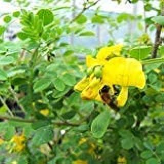 PLAT会社:S Peashrub種子(ムレスズメ属arborescensの)15個の+種子(60+)