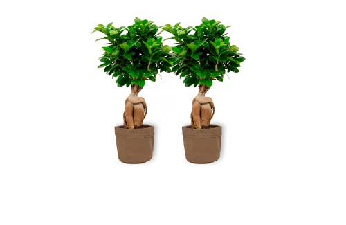 Ficus Ginseng – higo chino – Bonsái de interior en bolsa decorativa marrón – Altura +/- 25 cm incluida maceta – 12 cm de diámetro (maceta) – Fácil cuidado Bonsái Palme