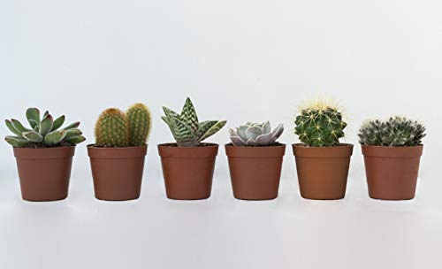 VIVAI APRILI | Piante Grasse Vere MIX Cactacee 6 pezzi. Pianta grassa di cactus vero e piantine grasse vere. 6 vasetti piante grasse e di piante succulente vere. Set piantine per interno ed esterno