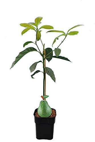 Avocado Pflanze - Persea americana Hass - Gesamthöhe 80-100 cm - Topf 3 Liter