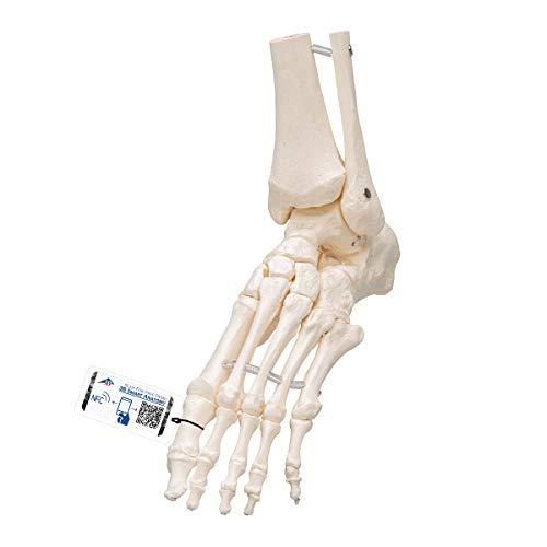 3B Scientific A31/1 Foot Skeleton-flexibly w/portions of Tibia- Fibula - 3B Smart Anatomy