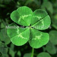 Weiße Kleeblatt-Samen, Zierpflanzen, vierblättriges Kleeblatt – einfach zu züchten, 100 Stück