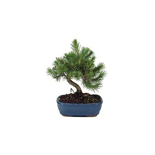 Bonsái 8 Años Pinus Halepensis Pino Alepo Árbol Pino Carrasco Natural