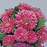 アスター-ポット「Nパティオピンクは、(シード)あなたはこの100花の種と間違って行くことができません!