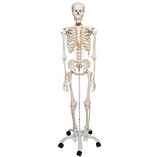 3B Scientific A10 Esqueleto Sobre Pie Metálico con 5 Ruedas - 3B Smart Anatomy, Soporte clásico