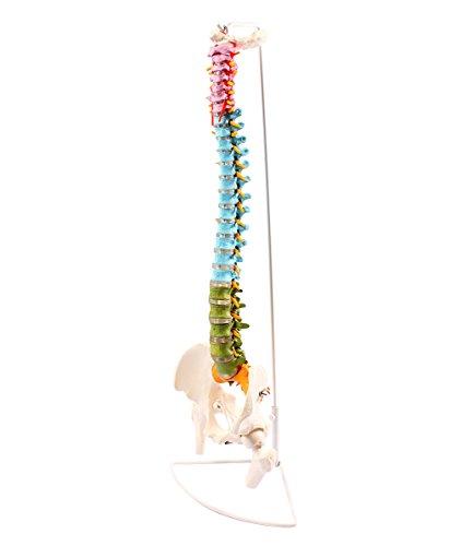 Cranstein A-339 Wirbelsäule Modell mit Becken und Oberschenkelstümpfen, didaktisch bunt - Anatomie-Modell als Lernmodell oder Lehrmittel