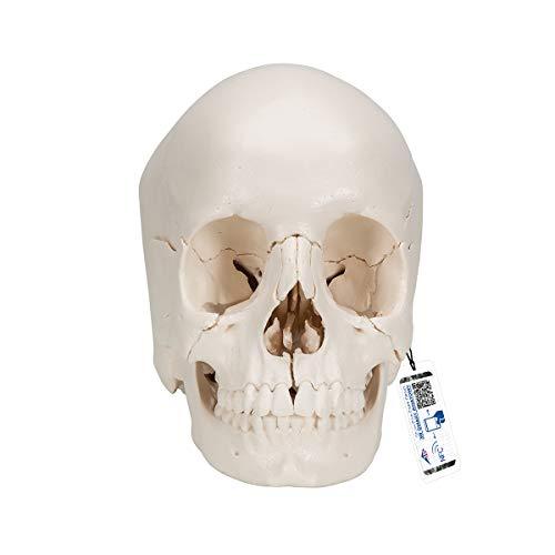 3B Scientific A290 Modelo de anatomía humana Cráneo desmontable, Versión Anatómica, En 22 Partes + software de anatomía gratuito - 3B Smart Anatomy