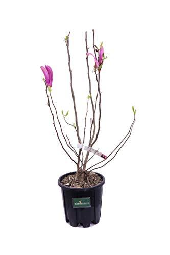 Pianta di Magnolia pianta da esterno pianta da giardino pianta di Magnolia ornamentale pianta vera di Magnolia venduta da eGarden.store (Soulangeana Susan)