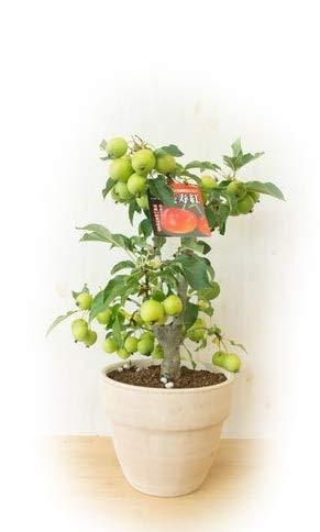 長寿紅リンゴの鉢植え