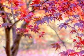 20 japonais Red Maple Tree Seeds, obtenir de nouvelles graines fraîches pour planter bonsaï