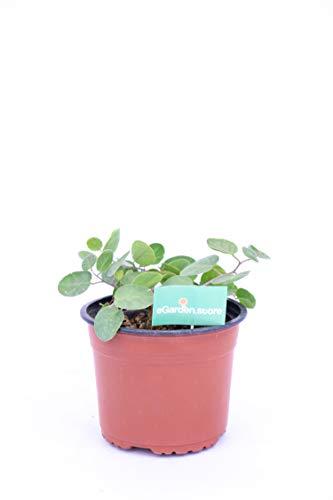 pianta di cappero pianta aromatica di cappero pianta di cappero in vaso pianta vera venduta da eGarden.store