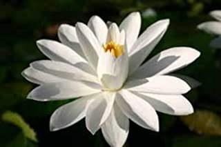 WHITE WATER LILY, WOOD'S WHITE KNIGHT SOLD AS: BARE ROOT