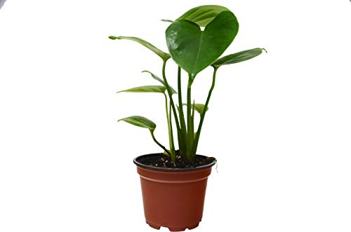 """Philodendron Monstera (Split-Leaf) Live House Plant - 4"""" Pot - Free Care Guide"""