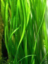 5 Bunde Vallisnerien gigantea, Wasserpflanzen