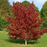 Semi americana Liquidambar Tree (Liquidambar styraciflua) 20 + Semi (20+)