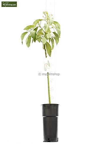 Avocado Pflanze - Persea americana Hass - 110-130cm Topf Ø 18cm