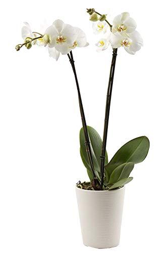 Florclick-Planta Orquídea Phalaenopsis blanca natural lista para regalar, envío GRATIS