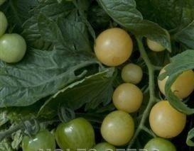 Il vous suffit de graines de graines de tomate cerise???Snow???12
