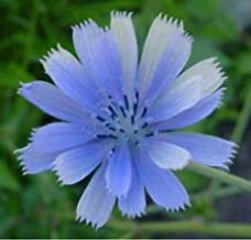 Chicory- Italian Dandelion- 200 Seeds - - BOGO 50% Off Sale