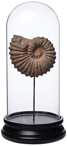 Better & Best Urna de Cristal con caracola pequeña, con Base de Madera Negra, 15.00x15.00x30.00 cm