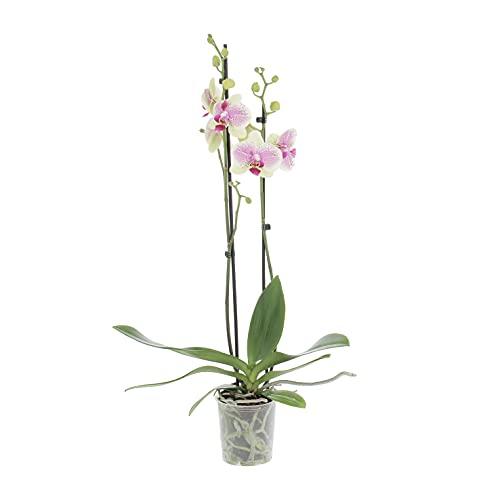 KENTIS - Orchidea Phalaenopsis Octopus - Orchidee Piante Vere da Interno - H 55-65 cm Vaso Ø 12 cm