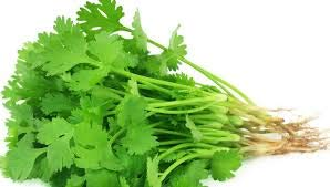 'Coriander' - Plug Plants - Available Now! (12)