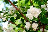 Japanese Jasmine White Flower Live Healthy Plant