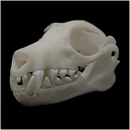 LUCKFY Large Flying Fox Skull Specimen - Simulation Bat Skeleton Model - 3D Printed Lifelike Bat Bone Decorations Taxidermy Supplies Art Bone Vet Medicine 1:1