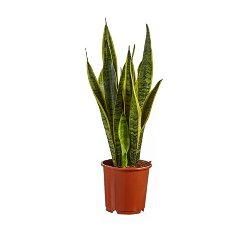 Indoor-Helden Sanseveria laurentii - Cañón arco, diámetro de la cazuela: 14 cm, altura: 50 cm