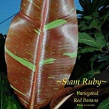 Cutdek ~SIAM Ruby~ Red Banana Musa Pisang Ornamental Live Sml Potted Banana Plant