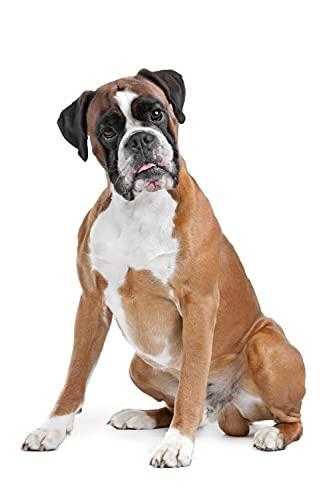 Verf op Nummers voor Volwassenen Boxer Hond Dier Digitale Olie Canvas Schilderij Kits voor Volwassenen Kinderen…