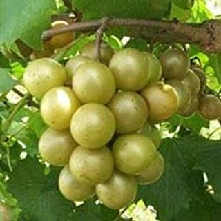 (2 Gallon Bare-Root Set of Two Plants) Scuppernong Muscadine, a Large Variety of Muscadine That is a Heavy Producer, is Usually a Greenish or Bronze Color.