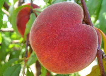 RED HAVEN PEACH TREE - 2 Year Old, 4-5 Feet Tall