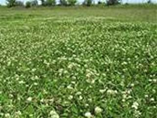 WHITE CLOVER SEED 5 LB Cover Crop, Pasture, Lawns, Wildlife Attractant