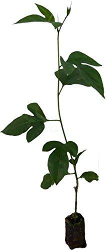 3 x Passionsfrucht Pflanzen neue winterharte Züchtung mit wohlschmeckenden Maracuja Früchten