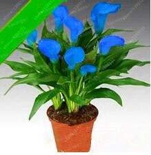 HONIC 100 PC-Calla-Lilien-Bonsai Zimmer Blumen Zantedeschia aethiopica Outdoor & Indoor Zimmerpflanzen Hausgarten-Topfpflanze Hochzeitsdeko