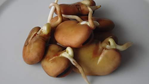 250g Bio Keimsprossen - Puffbohne - Keimsaat für die Sprossenzucht Microgreens Grünkraut Ackerbohne