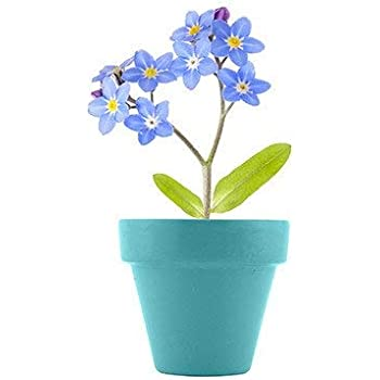 3 X small PINK forget me not potted plant,spread fast,plant now spring flowers,