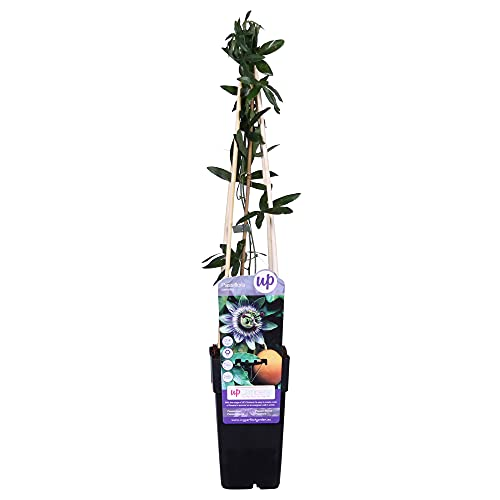 Passiflora caerulea   Blaue Passionsblume   Gartenpflanzen winterhart   Exotische Pflanzen   Höhe 65-75cm   Topf-Ø 15cm