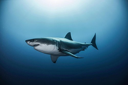 Pyramid America Great White Shark Swimming in Pacific Ocean Photo Photograph Cool Wall Decor Art Print Poster 36x24