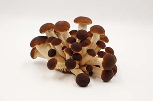 Bio Pioppino Körner Pilzbrut - Pilze selber züchten - Körnerbrut