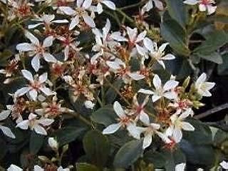 Rhaphiolepis Indica Clara Indian Hawthorn Seeds AMND-064