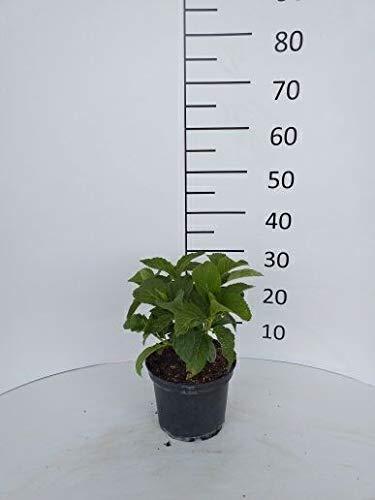 Späth Bauernhortensie 'Schneeball' -S- LH 20-30 cm im 3 Liter Topf Hortensie winterhart Zierstrauch weiß blühend