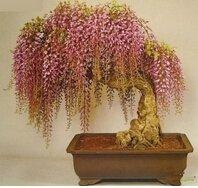 graines de glycines 10 Graines / Pack Gold rares mini-bonsaï graines d'arbres glycines plantes ornementales d'intérieur