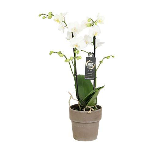 Orchidee von Botanicly – Schmetterlingsorchidee in taupefarbenem Keramiktopf als Set – Höhe: 45 cm, 2 Triebe, weiße Blüten – Phalaenopsis Snow Flake