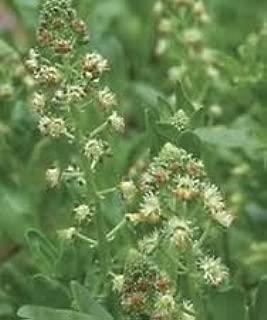 Mignonette Ameliorata -Reseda Odorata- 100 Seeds- BOGO 50% Off Sale