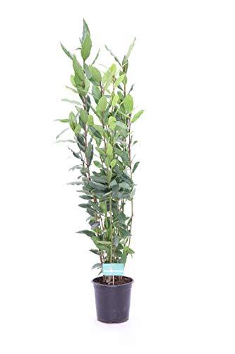 pianta da esterno di Alloro Laurus Nobilis v.15 da usare in cucina