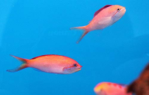 【海水魚/観賞魚/ハナダイ】 アカネハナゴイ ■サイズ:4cm± (2匹)